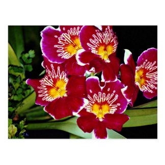 Orchid miltonia hybrid flowers post cards