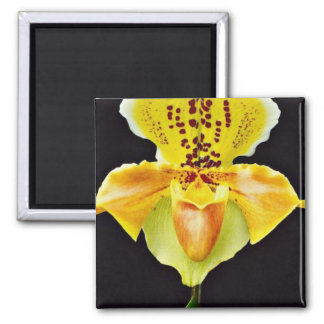 """Orchid Paphiopedlum, """"Golden Crown""""  flowers Magnet"""