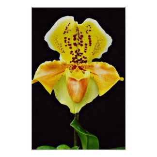 """Orchid Paphiopedlum, """"Golden Crown""""  flowers Poster"""