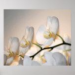 Orchid Phalae Sogo Art Print
