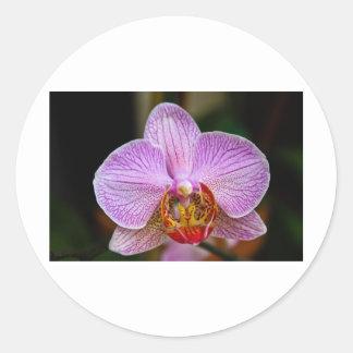 Orchid (Phalaenopsis) Classic Round Sticker
