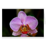 Orchid (Phalaenopsis) Greeting Cards