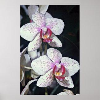 Orchid, phalaenopsis-hybrid (musterlandstern)  flo posters