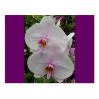 Orchid - Pink Blossom (Colossians 2:3) Post Cards
