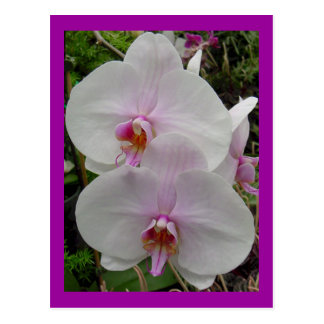 Orchid - Pink Blossom (Colossians 2:3) Postcards