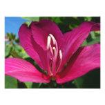 Orchid Tree Blossom Photo Print