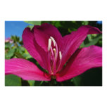 Orchid Tree Blossom Poster