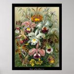 Orchids - Ernst Haeckel Poster