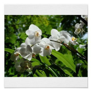 Orchids in Bloom Poster