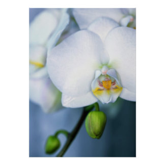 Orchids whites póster poster