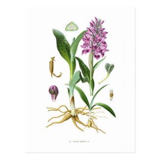 Orchis latifolia postcard