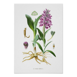Orchis latifolia poster