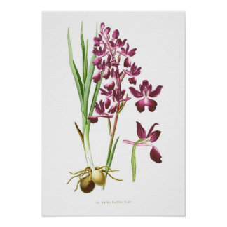 Orchis laxiflora poster