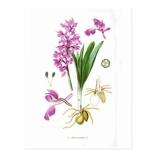Orchis maculata postcard