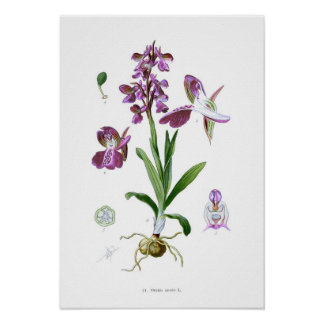 Orchis morio poster