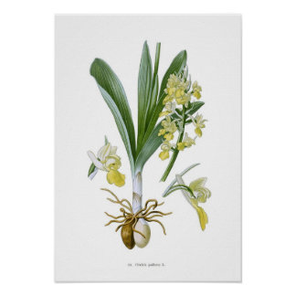 Orchis pallens poster