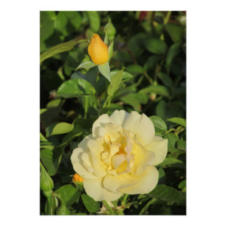 Oregold Yellow Rose Poster