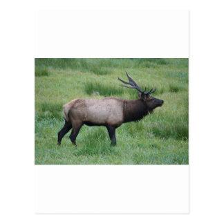 Oregon Bull Elk Postcard