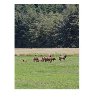 Oregon Cow & Calf Elk Postcard