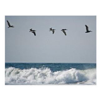 Oregon Pelicans Postcard