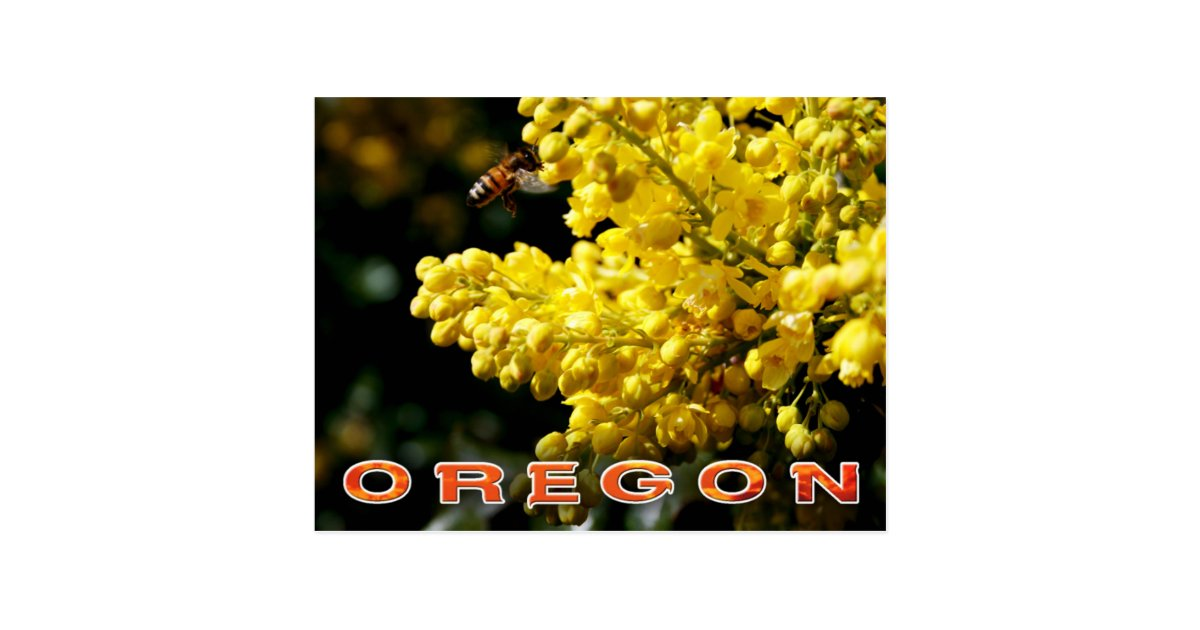 Oregon State Flower Oregon Grape Postcard Zazzle Com