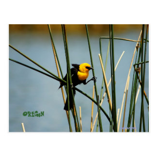 Oregon Yellow headed blackbird Postcard