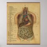 Órganos internos de la impresión alemana de la ana posters