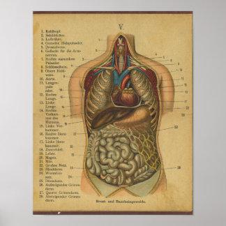 Órganos internos de la impresión alemana de la ana póster