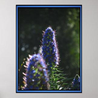 Orgullo azul púrpura de Madeira Póster