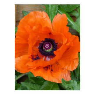Oriental Garden Poppy Postcard