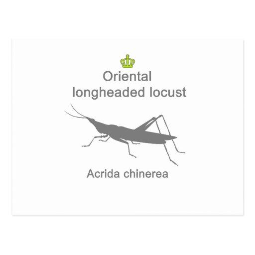 Oriental longheaded locust g5 葉書き