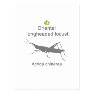 Oriental longheaded locust g5 postcard