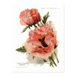 Oriental Poppy (Papaver orientale) Post Cards
