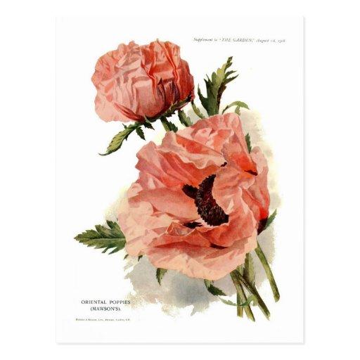 Oriental Poppy (Papaver orientale) Post Cards