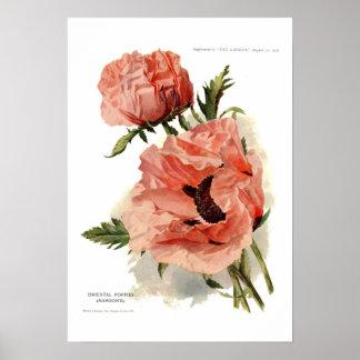 Oriental Poppy Papaver orientale Poster