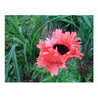 """Oriental POPPY """"Pink Ruffles"""" --- Postcard"""