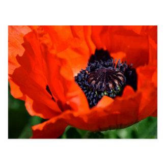 Oriental Poppy Postcard