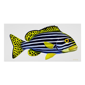 Oriental Sweetlips Indo Pacific Fish Poster