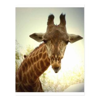 Orig de la jirafa - zaz tarjetas postales