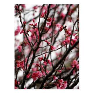 Original Cherry Blossoms Macro Photo Postcard