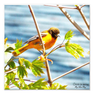 Oriole in spring print