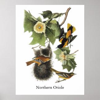 Oriole septentrional, Juan Audubon Poster