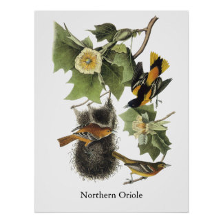 Oriole septentrional, Juan Audubon Póster