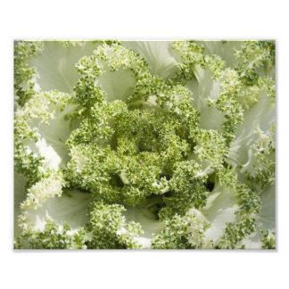 Ornamental Cabbage Photographic Print