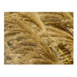 Ornamental Grasses in Fall Postcard