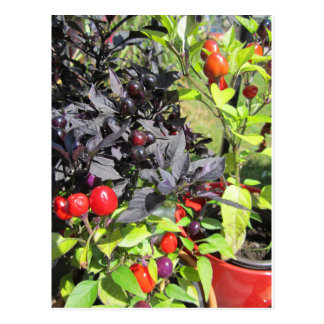 ornamental peppers postcard