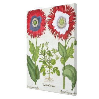 Ornamental Poppies, from the 'Hortus Eystettensis' Canvas Print