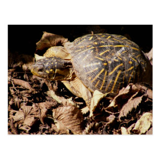Ornate Box Turtle Post Cards