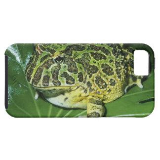 Ornate Horned Frog, (Ceratophrys ornata), iPhone SE/5/5s Case