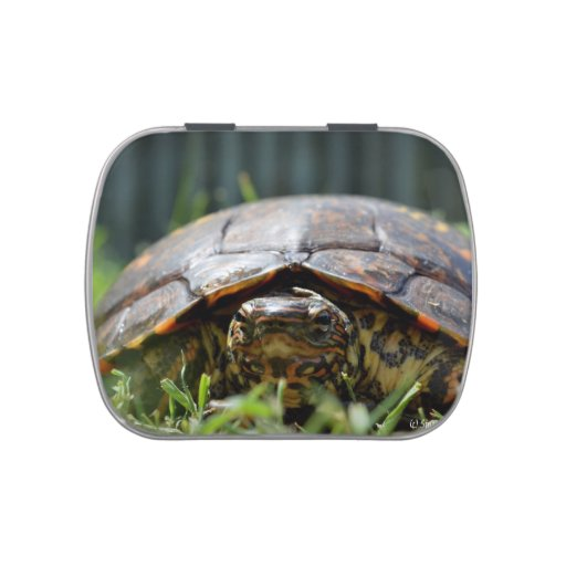 Ornate wood turtle at his level in grass jelly belly tin